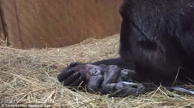 Khoảnh khắc lay động hàng triệu người xem: Lần đầu làm mẹ, cô khỉ đột nâng niu, khẽ hôn nhẹ lên môi con - ảnh 3