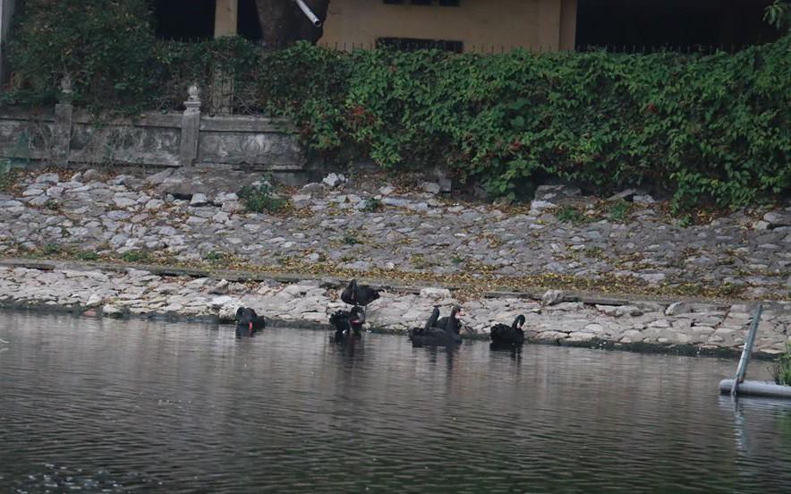 Một con thiên nga đen trong đàn 12 con bất ngờ biến mất, người dân thủ đô bàn tán xôn xao