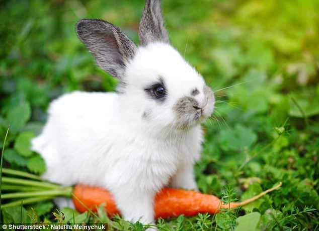 Tất cả chúng ta đã bị lừa: Thỏ không hề thích ăn cà rốt, và ăn vào sẽ phải trả giá đắt - Ảnh 1.