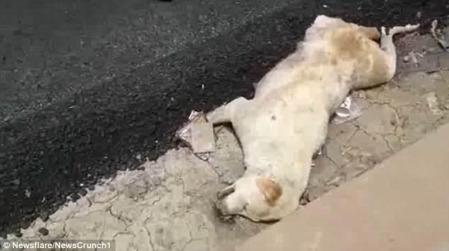 Dư luận Ấn Độ phẫn nộ vì nhóm công nhân thản nhiên rải nhựa đường lên một chú chó đang nằm ngủ - ảnh 1