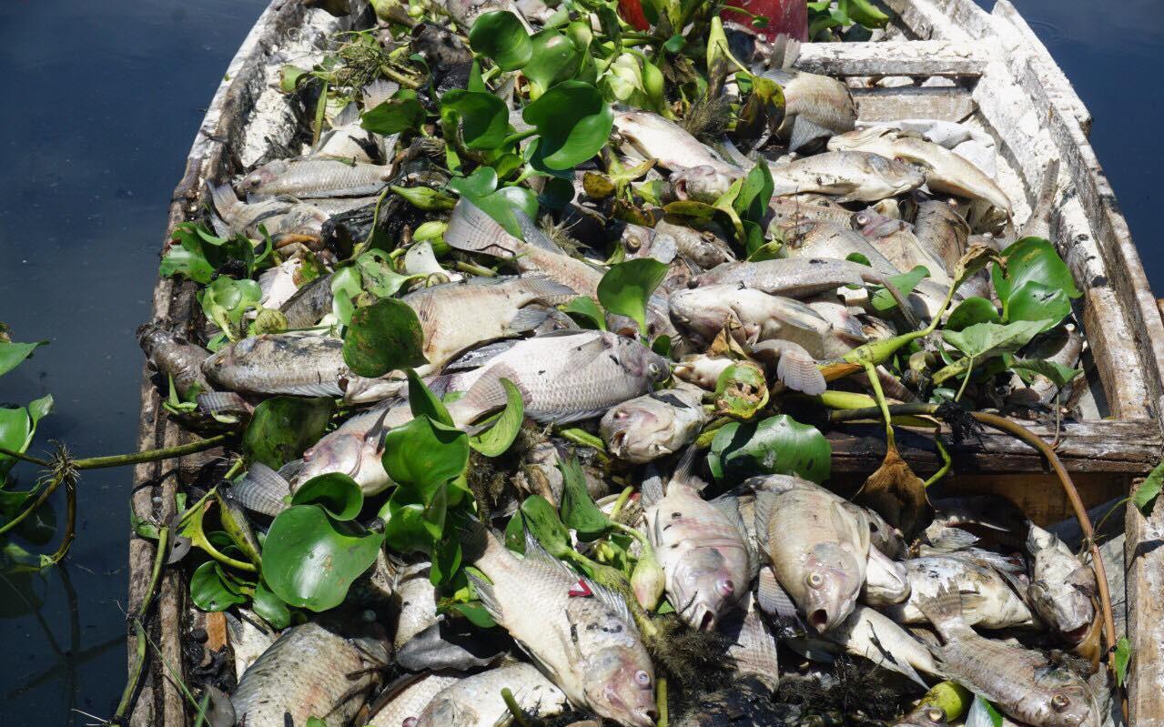 Gần 1 tấn cá chết trắng hồ điều tiết, bốc mùi hôi thối ở Đà Nẵng