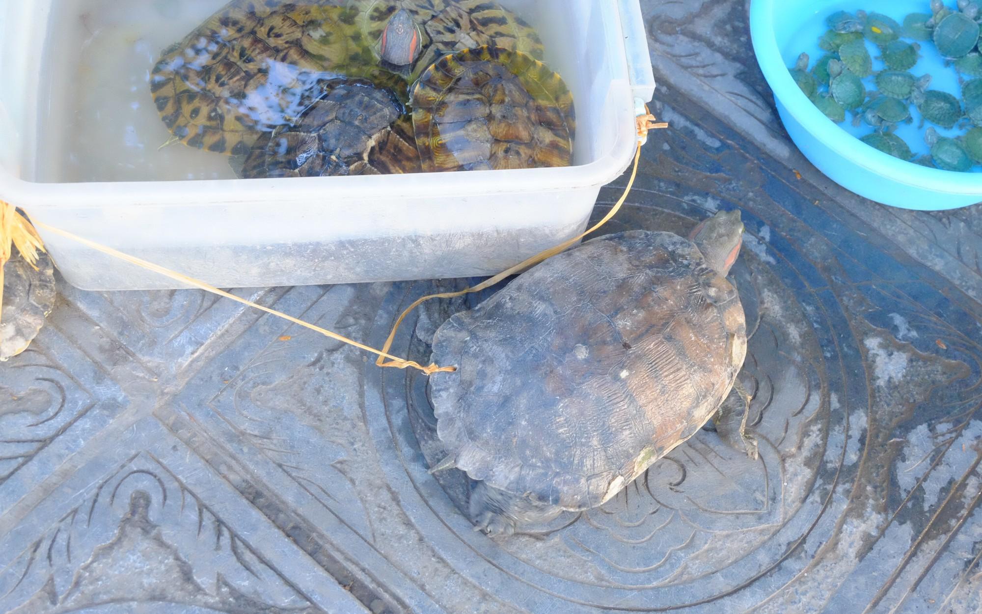 Ảnh: Rùa bị đục lỗ trên mai để trói buộc, bày bán nhằm phục vụ nhu cầu người dân mua phóng sinh mùa Vu Lan