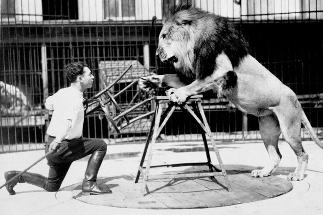 Công việc thuần hóa sư tử trong rạp xiếc được thực hiện như thế nào? - ảnh 1