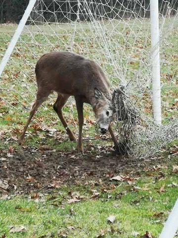 Chuyện động vật kẹt trong lưới sân bóng: tưởng đơn giản mà hậu quả nghiêm trọng không ngờ - ảnh 1