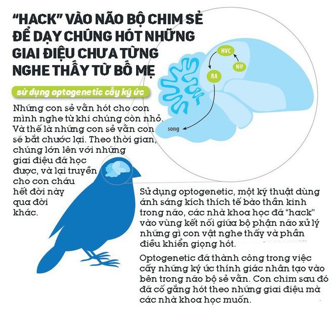 Các nhà khoa học hack vào não bộ chim sẻ, dạy chúng hót những giai điệu chưa từng nghe thấy từ bố mẹ - ảnh 1