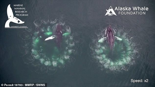Video cực hiếm ghi lại quá trình cá voi đan lưới săn mồi: Cảnh tượng được xem là kỳ vĩ nhất của đại dương - ảnh 1
