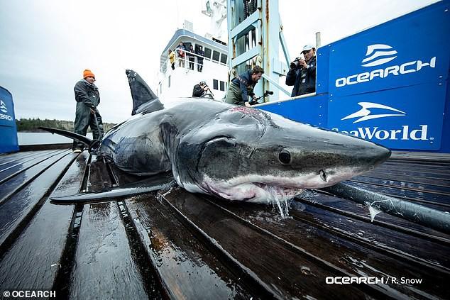 Trục vớt cá mập trắng khổng lồ nặng nửa tấn với 2 vết cắn lớn sau gáy: Hung thủ là con quái vật to cỡ nào cơ chứ? - Ảnh 1.