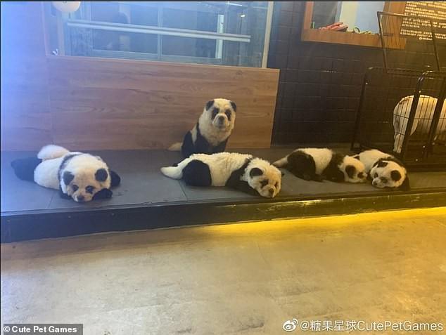 Hô biến chó thành gấu trúc để thu hút khách, quán cà phê thú cưng bị dân mạng ném đá kịch liệt - ảnh 1