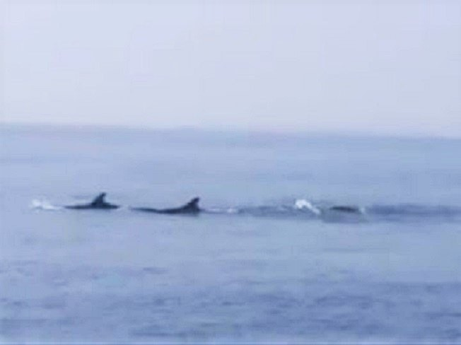 Hiện tượng cực kỳ hiếm gặp: Đàn cá heo cả trăm con bơi tung tăng trên vùng biển ở Hội An - ảnh 1
