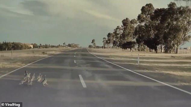 Đại gia đình vịt thoát chết gang tấc dù gặp xe Tesla phóng 100km/h, tất cả nhờ chế độ tự lái phanh gấp quá chuẩn - ảnh 1