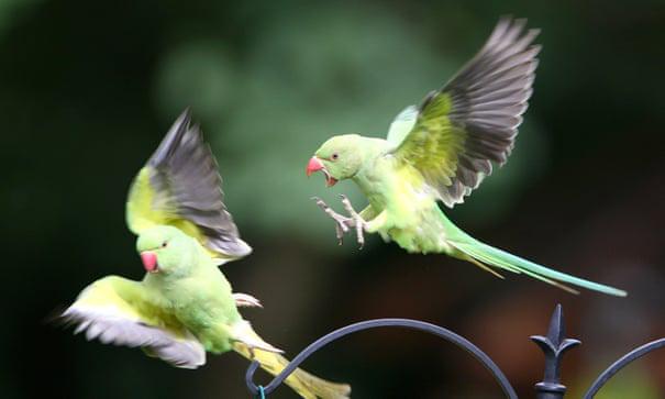 Hàng ngàn con vẹt xanh tự nhiên đổ bộ hàng loạt vào Anh Quốc - bí ẩn suốt hơn 60 năm làm khoa học đau đầu cuối cùng đã có lời giải - ảnh 1