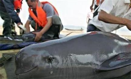 Nhật Bản: Hé lộ sự thật cảnh tàn sát cá heo khủng khiếp đang bị lên án mạnh mẽ - ảnh 2