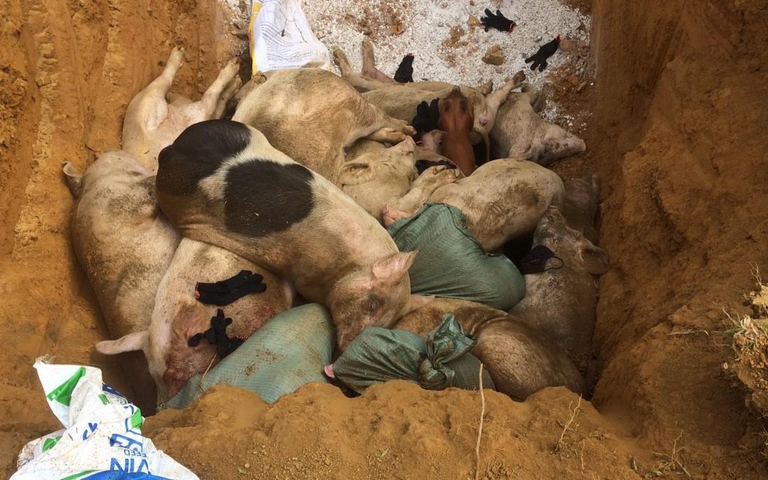 Tiêu hủy 151 con heo bị lở mồm long móng ở Quảng Nam
