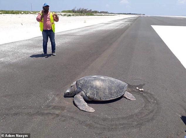 Xót xa cảnh tượng rùa hiếm Maldives lặn lội về quê đẻ trứng, nào ngờ tổ đã biến thành đường băng sân bay - ảnh 1