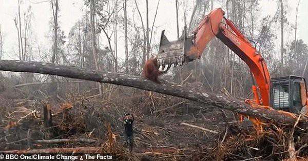 Đau lòng cảnh đười ươi liều mạng ngăn máy ủi phá rừng - ảnh 1