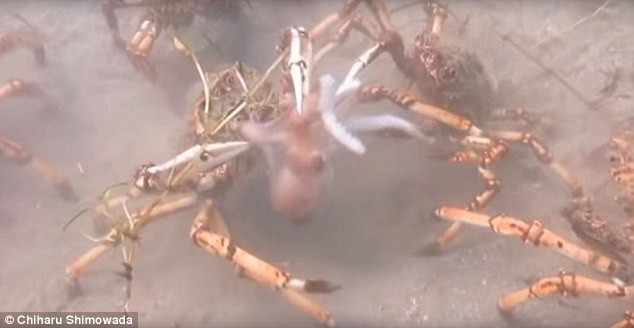 Bạch tuộc đi lạc trúng bầy cua khổng lồ và cái kết bi thảm - đoạn video cho ta thấy tự nhiên tàn khốc là như thế nào - ảnh 1