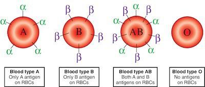 Vi khuẩn trong ruột người có thể biến máu nhóm A thành nhóm O: Tại sao đây là một đột phá quan trọng? - ảnh 2