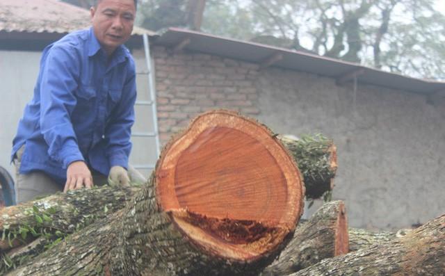 Chính thức chốt ngày bán đấu giá cây sưa từng được trả giá trăm tỷ ở Hà Nội - ảnh 1