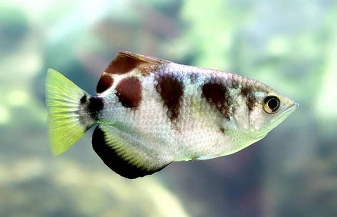 Điểm danh 10 loài cá có biệt tài săn mồi trên cạn trong thế giới tự nhiên - ảnh 2