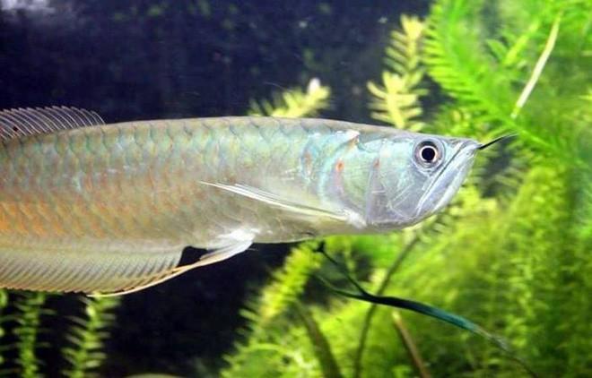 Điểm danh 10 loài cá có biệt tài săn mồi trên cạn trong thế giới tự nhiên - ảnh 5