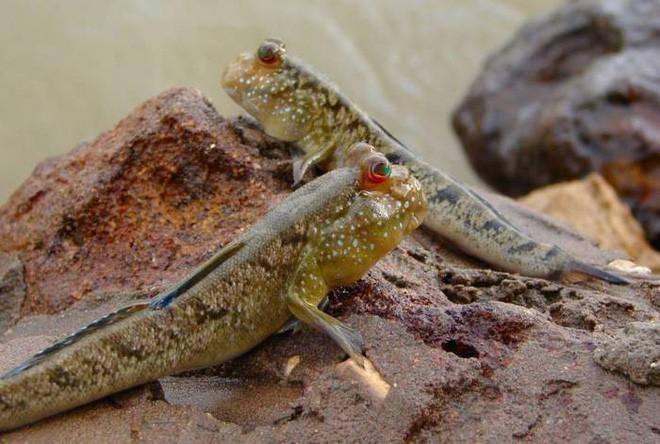 Điểm danh 10 loài cá có biệt tài săn mồi trên cạn trong thế giới tự nhiên - ảnh 8
