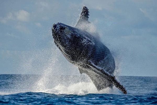 """Cá voi """"siêu to khổng lồ"""" xuất hiện ở vùng biển Quy Nhơn, du khách phấn khích hô vang """"ông ơi"""" trước cảnh tượng hiếm gặp - Ảnh 10."""