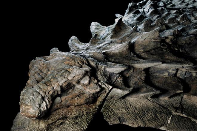 Xác ướp khủng long được bảo quản nguyên vẹn hơn 100 triệu năm có trọng lượng gần như tương tự lúc còn sống - ảnh 2