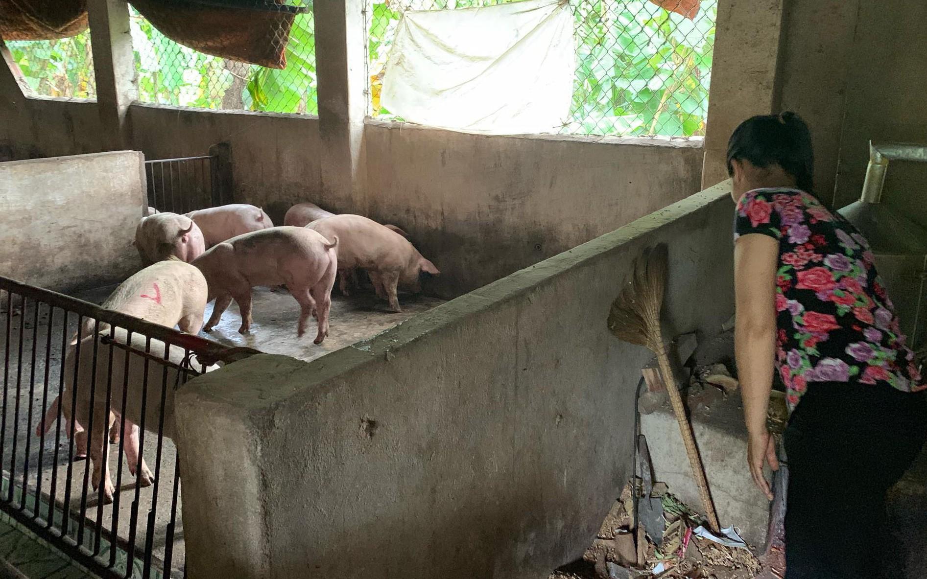 Kỳ tích: Lần đầu tiên đàn heo nhiễm dịch tả lợn Châu Phi sắp bị tiêu hủy, bất ngờ hết bệnh nhờ... ăn bã rượu