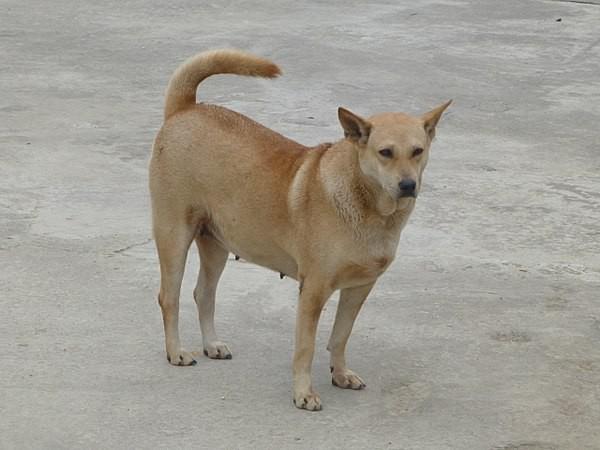 Việc gì phải chọn chó Nhật Shiba khi Việt Nam cũng có tứ đại danh khuyển dư sức đóng Cậu Vàng? - ảnh 1
