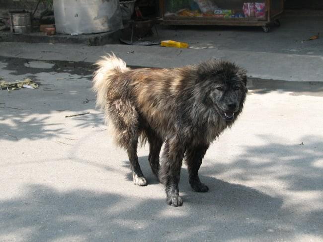 Việc gì phải chọn chó Nhật Shiba khi Việt Nam cũng có tứ đại danh khuyển dư sức đóng Cậu Vàng? - ảnh 3