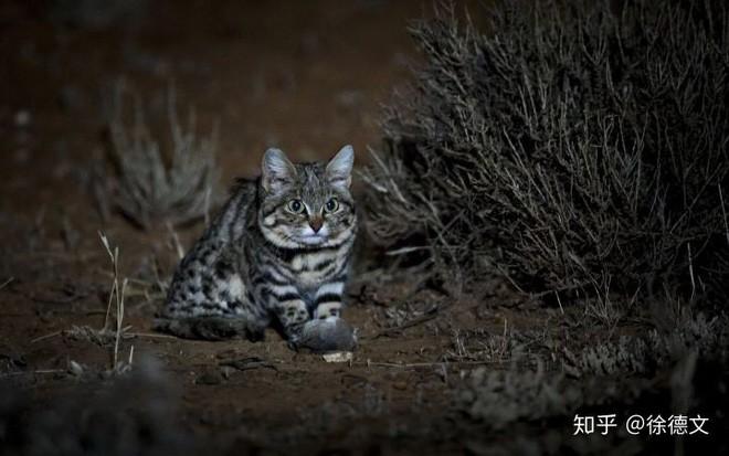 Mèo chân đen: Nhìn thì có vẻ ngây thơ nhưng chúng lại là loài mèo nguy hiểm nhất trên Trái Đất - ảnh 3