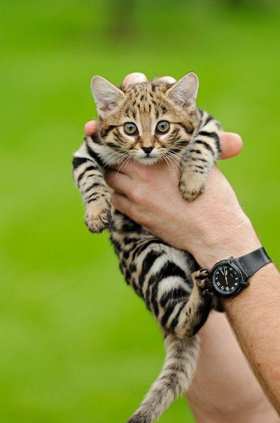 Mèo chân đen: Nhìn thì có vẻ ngây thơ nhưng chúng lại là loài mèo nguy hiểm nhất trên Trái Đất - ảnh 4
