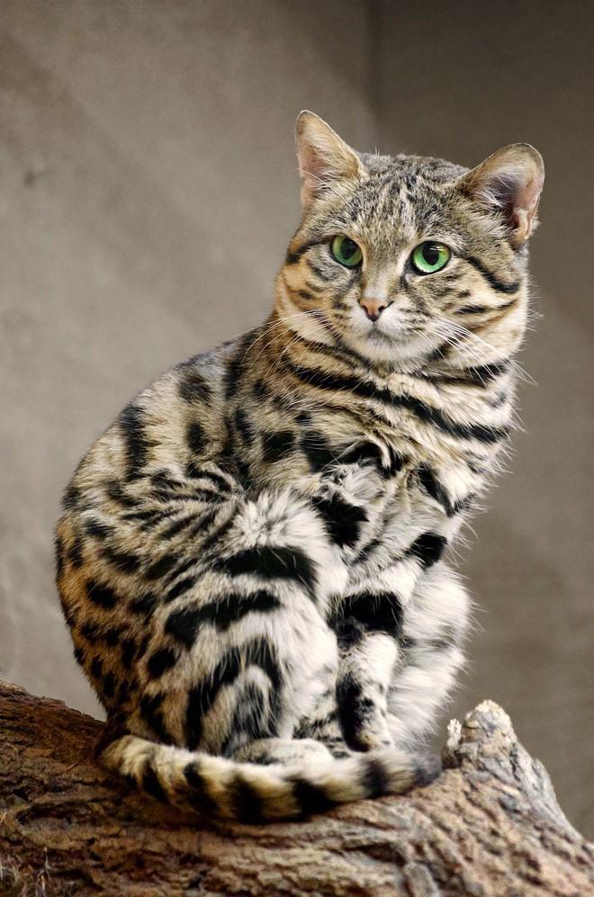 Mèo chân đen: Nhìn thì có vẻ ngây thơ nhưng chúng lại là loài mèo nguy hiểm nhất trên Trái Đất - ảnh 6