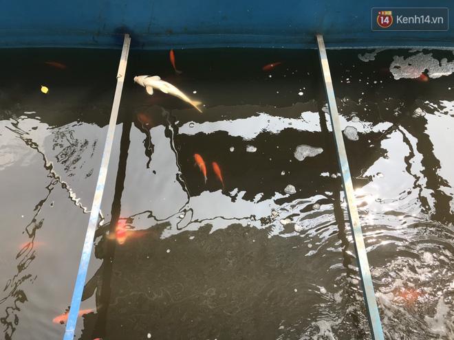 Cá Koi chết sau 2 ngày được thả xuống sông Tô Lịch, bảo vệ túc trực ngày đêm - ảnh 5