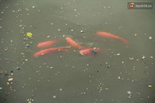 Cá Koi chết sau 2 ngày được thả xuống sông Tô Lịch, bảo vệ túc trực ngày đêm - ảnh 11