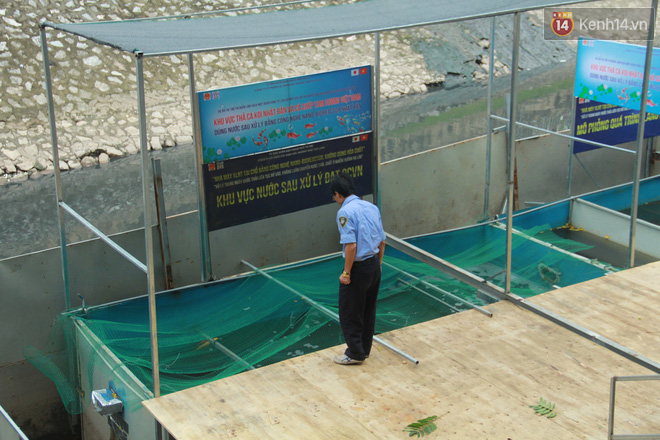 Cá Koi chết sau 2 ngày được thả xuống sông Tô Lịch, bảo vệ túc trực ngày đêm - ảnh 8