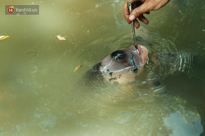 Kỳ lạ đàn cá tai tượng biết... nhõng nhẽo, ăn cơm trắng phải đút bằng muỗng của chàng trai 9X ở miền Tây - ảnh 3