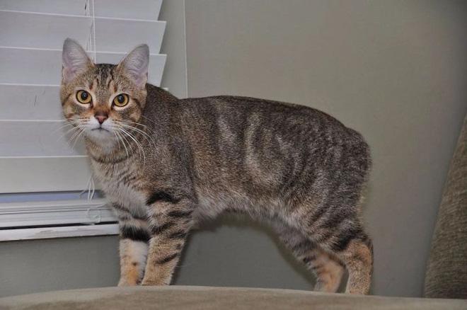 Dù không có đuôi nhưng loài mèo này lại được biết bao người trên cả thế giới săn đón - ảnh 1
