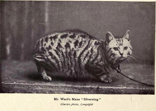 Dù không có đuôi nhưng loài mèo này lại được biết bao người trên cả thế giới săn đón - ảnh 3