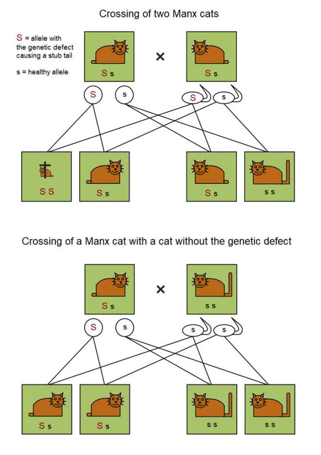 Dù không có đuôi nhưng loài mèo này lại được biết bao người trên cả thế giới săn đón - ảnh 7