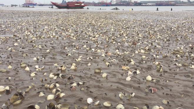 Ngao chết trắng bờ biển không rõ nguyên nhân, dân nuốt nước mắt nhặt vỏ đổ từng đống - ảnh 2