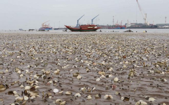 Ngao chết trắng bờ biển không rõ nguyên nhân, dân nuốt nước mắt nhặt vỏ đổ từng đống - ảnh 13