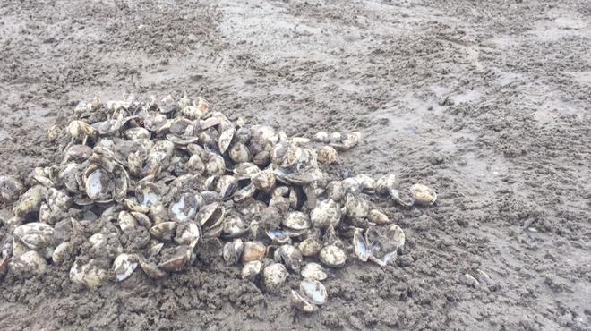 Ngao chết trắng bờ biển không rõ nguyên nhân, dân nuốt nước mắt nhặt vỏ đổ từng đống - ảnh 7