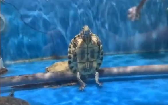 Kinh ngạc cảnh đại ca rùa ngồi cực ngầu, thản nhiên nhìn đàn em bơi lội bên cạnh - Ảnh 2.