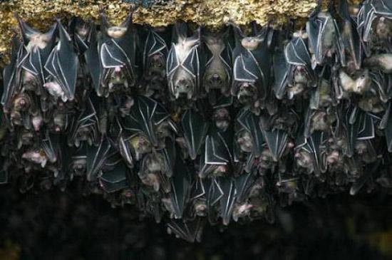 Khí Áp Kế Của Loài Dơi  (Câu Chuyện Khoa Học) 100508cl1daodoi-13