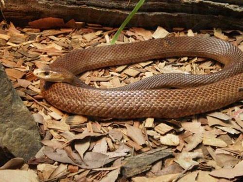 Kết quả hình ảnh cho rắn độc ở úc