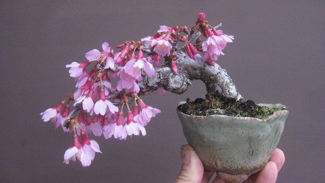 Ngất Ngay Với 15 Chậu Hoa Bonsai Mini Sieu đẹp để Trang Tri