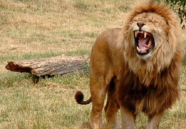 Các loài vật ăn thịt đồng loại đáng sợ 9