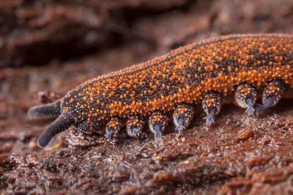 5 loài sâu đáng sợ nhất hành tinh 11