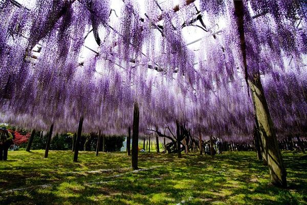 """Đẹp kinh ngạc vườn hoa """"tình yêu vĩnh cửu"""" ở Nhật Bản 5"""